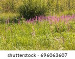 Small photo of Nature of Latvia. Chamerion or Epilobium angusti - folium, commonly known as fire-weed or great willow-herb or rosebay willow-herb