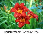 Three Red Flowers Of Day Lily...