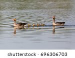 Natural Gray Geese  Anser Anse...