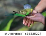 the budgerigar also known as...   Shutterstock . vector #696335227