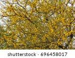 Small photo of Aromito - Acacia farnesiana