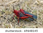 Two Red Locusts Mating On A...