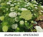 Small photo of Bishop herb; ivisnaga; Ammi; Khella