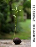 Small photo of Alstonia scholaris sprout