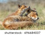 red fox cub in nature and... | Shutterstock . vector #696684037