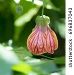 Small photo of Single Abutilon Pictum aka Red Vein Indian Mallow, Chinese Lantern flower growing in it's natural garden setting with it's own foliage as the back drop.