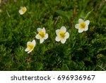 "Small photo of Aleutian avens (Japanese name ""Chinguruma""), alpine plant in Japan"