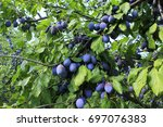 plum orchard before picking in... | Shutterstock . vector #697076383