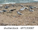 seagull on the azov beach in... | Shutterstock . vector #697153087