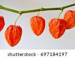 Winter Cherry Chinese Lantern...