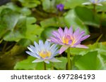 Two Color Lotus