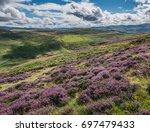 purple heather covered hillside ... | Shutterstock . vector #697479433