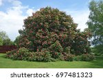 Red Horse Chestnut  Aesculus X...