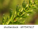 Horsetail Plant  On The...