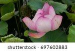 Single Lotus Flower. Backgroun...