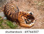 A Tiger Taking A Nap On Dry...