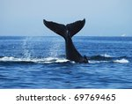 humpback whale  megaptera... | Shutterstock . vector #69769465