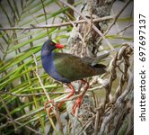 Small photo of Allen's Gallinule Bird, in the tree branches in the water pond for rice farming operation in Nigeria.
