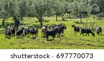 a flog of goats and its... | Shutterstock . vector #697770073