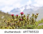 Small photo of Alpine rose in the mountains
