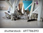 Stock photo kittens drinking milk from mother cat 697786393