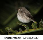 Small photo of African Dusky Flycatcher, Cape Town, South Africa.