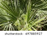 Small photo of Arecales, top of a palm tree in sunny summer, Mallorca, Spain