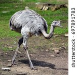 Small photo of The greater rhea (Rhea americana) is a flightless bird found in eastern South America. Other names for the greater rhea include the grey, common, or American rhea, nandu Guarani or ema