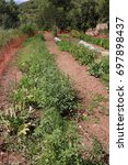 Small photo of Homegrown 4: Color photograph of vegtables growing in an allotment, in the north of Ibiza, Spain.