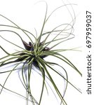Small photo of Airplant Tilandsia isolated on white