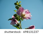 Small photo of pink Alcea rises on a background of blue sky