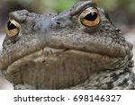 Small photo of A true toad is any member of the family Bufonidae, in the order Anura