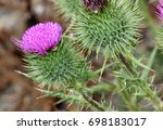 Cirsium Vulgare  Spear Thistle...