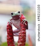 Small photo of Tree Frog, Dumpy Frog