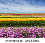 Horizontal row of tulips on the field in the spring time - stock photo