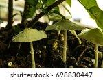 Dew Drops On Wild Mushrooms...