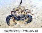 a female scorpion carrying its... | Shutterstock . vector #698832913