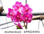 Orchids Vanda Insignis