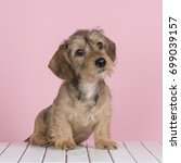 cute wire haired dachshund... | Shutterstock . vector #699039157