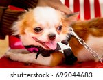 the dog chihuahua in thailand | Shutterstock . vector #699044683
