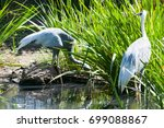 Small photo of White naped cranes