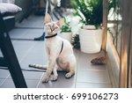 devon rex cat is walking on a... | Shutterstock . vector #699106273