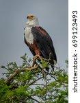 Small photo of African Fish Eagle (Haliaeetus vocifer) gliding over Lake Malawi