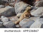 land iguana on santa fe island  ... | Shutterstock . vector #699136867