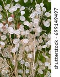 Silver Translucence Seedpods O...