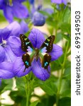 Small photo of Exotic green and purple spotted Swallowtail Butterfly (Graphium weiskei) on a blooming Ballonflower with blue flowers
