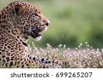 leopard head shot  south africa | Shutterstock . vector #699265207