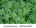 Small photo of Alchemilla alpina or alpine lady's-mantle many green plants background