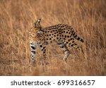 serval wild cat in the mara... | Shutterstock . vector #699316657