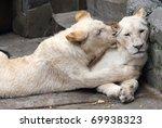 loving couple of white lions | Shutterstock . vector #69938323